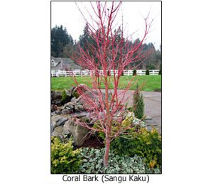 coral-bark-winter