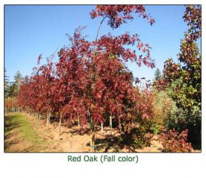 red-oak-fall